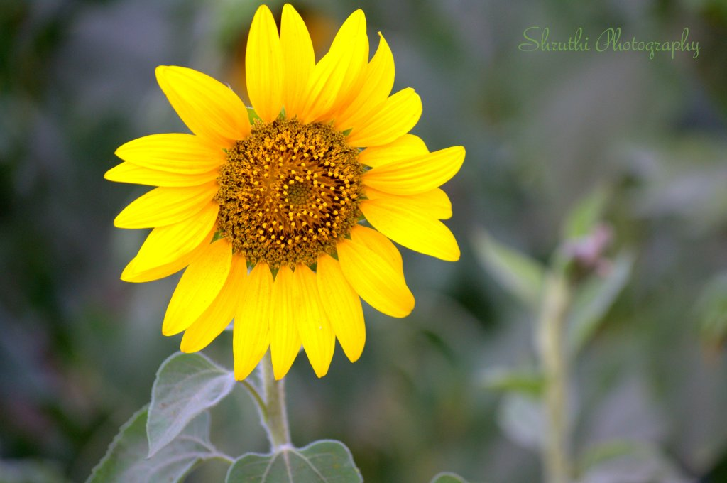 Bringht Sunflower