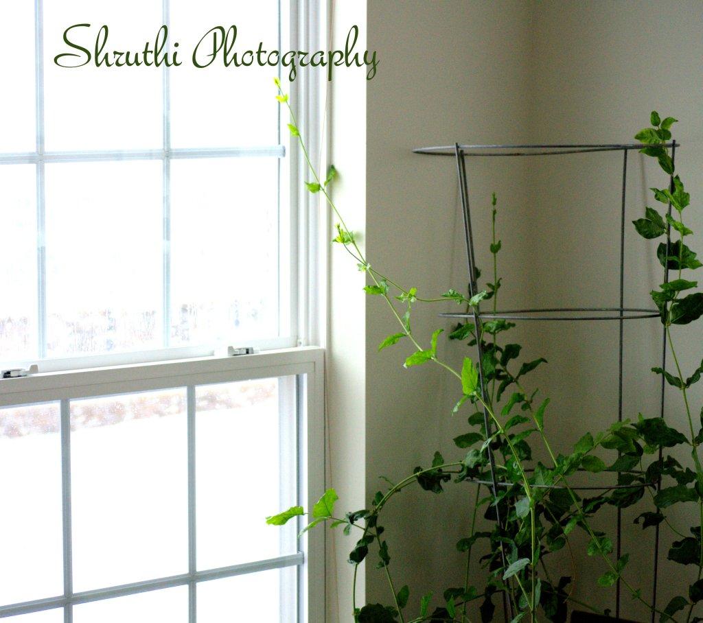 My Jasmine Plant